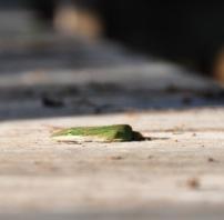 Mr. Lizard in Corkscrew Swamp, Naples Florida